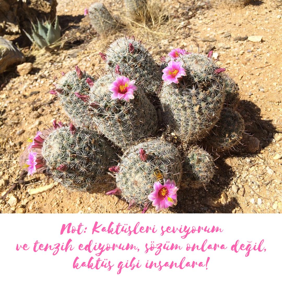 kaktusleri-seviyorum